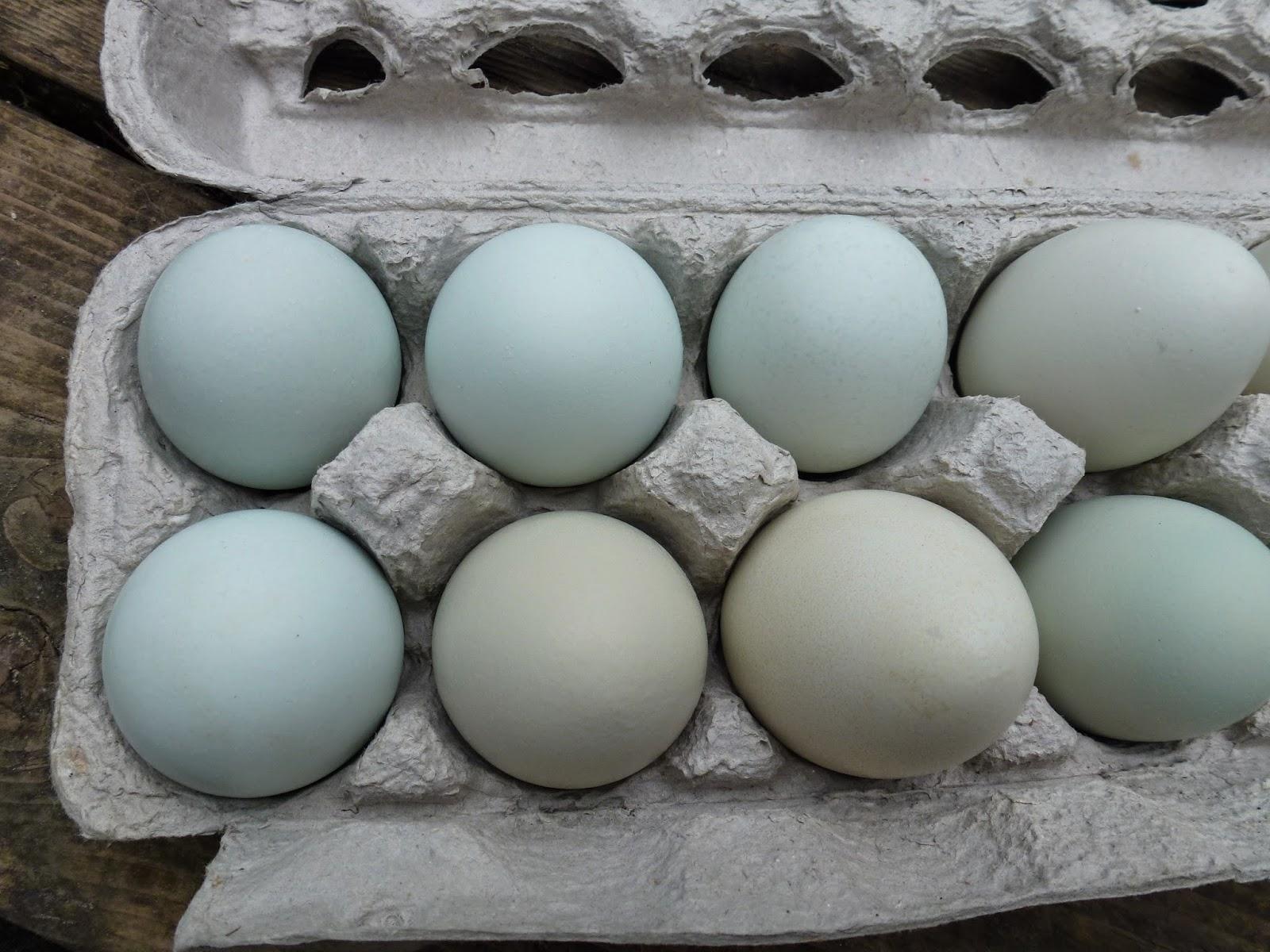 Γόνιμα αυγά εκκόλαψης