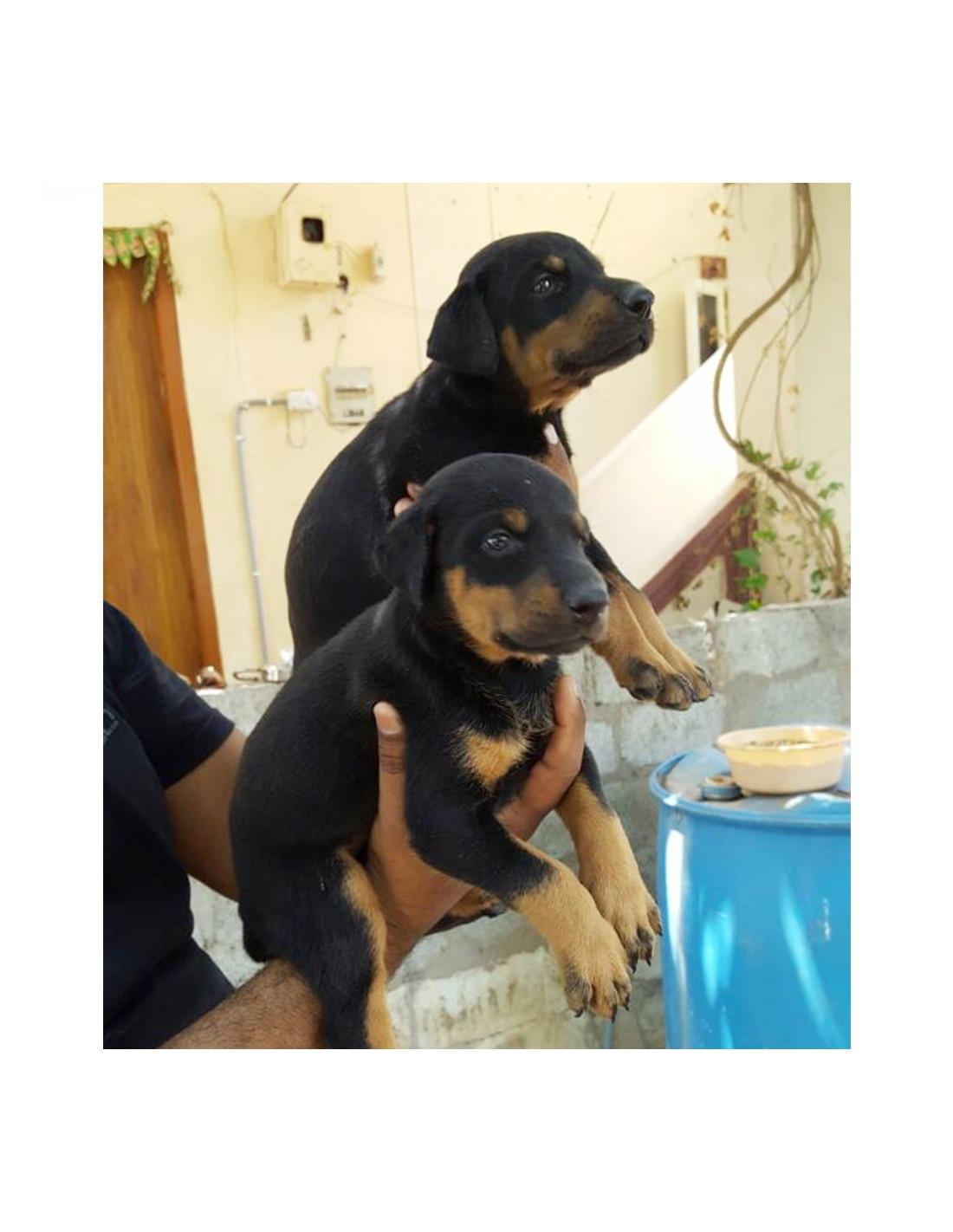 Κουτάβια Rottweiler για υιοθεσία